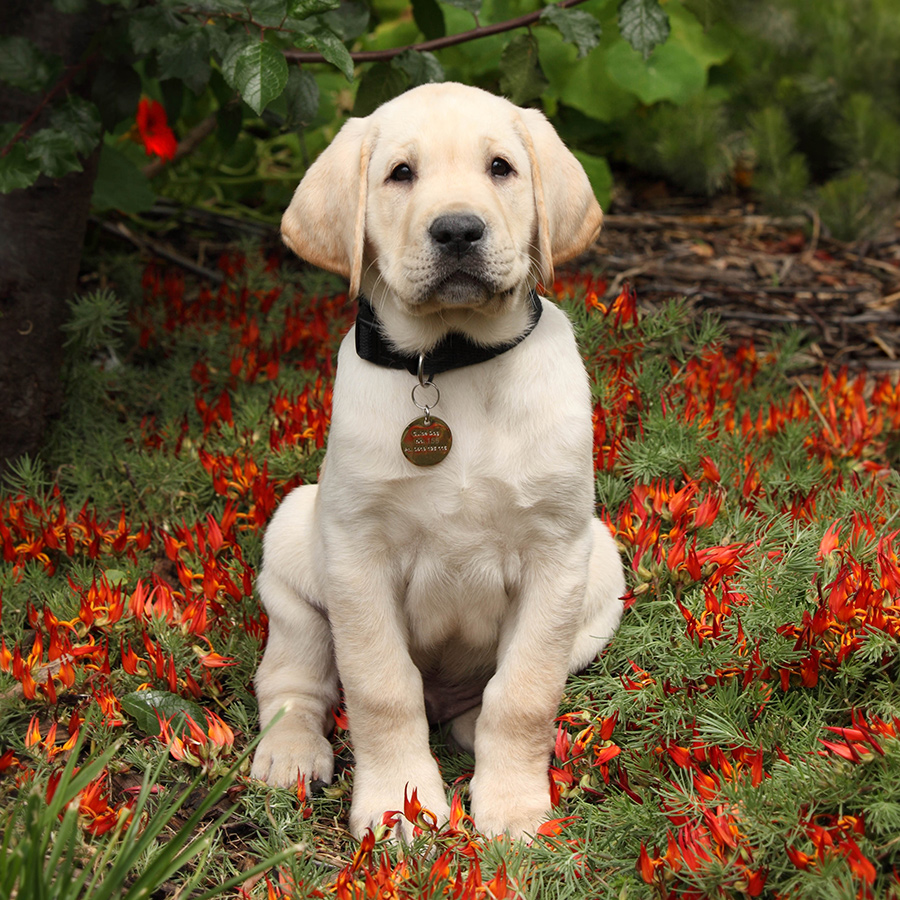 puppy sitting among red flowers