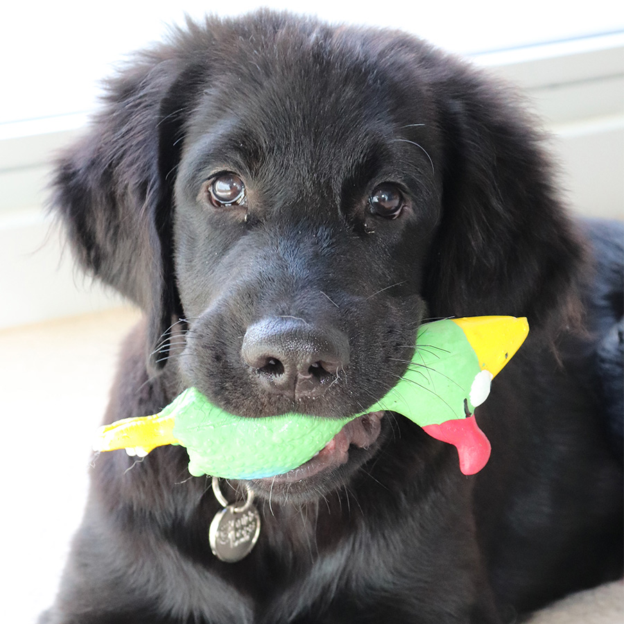 Puppy with toy in it's mouth