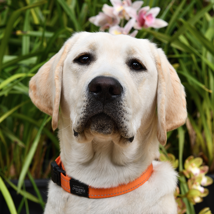 Golden lab looking at the camera in front of flowers