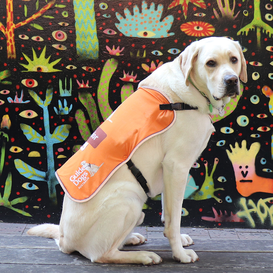 dog in orange training coat in front of colourful wall