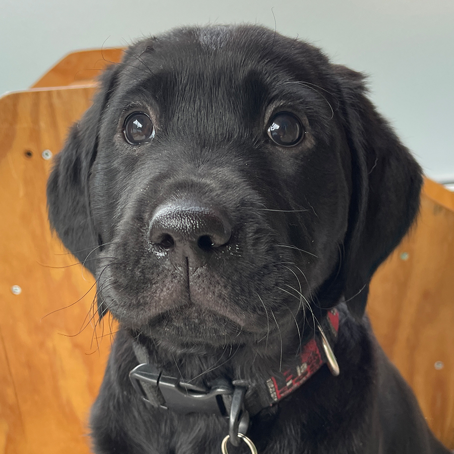 black lab puppy looking at the camera