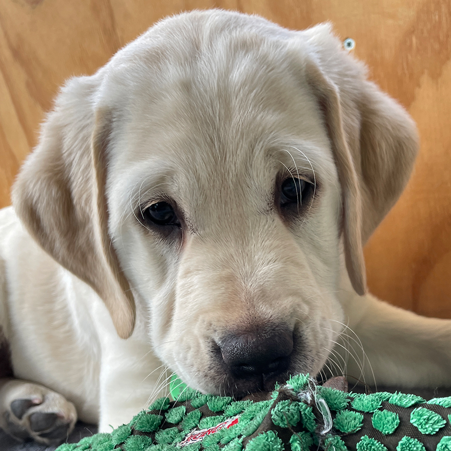 white puppy looking at the camera with toy in mouth
