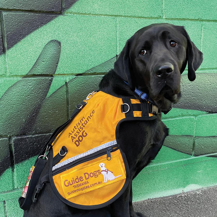 black dog wearing orange autism assistance dog coat