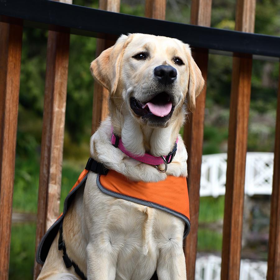 dog in orange training coat